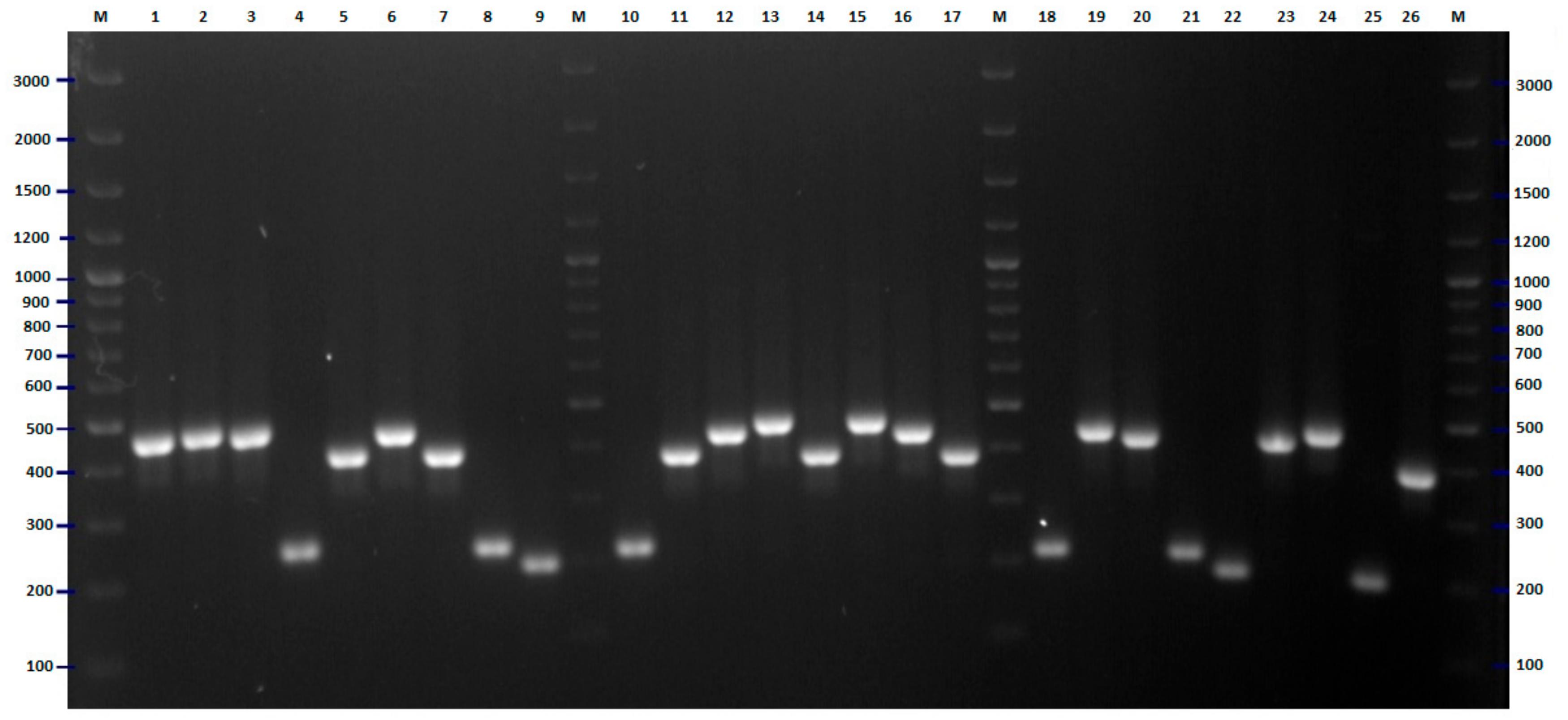 Hyperladder 100bp Bioline Meridian Bioscience