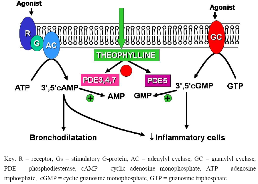 Theophylline mechanism of action