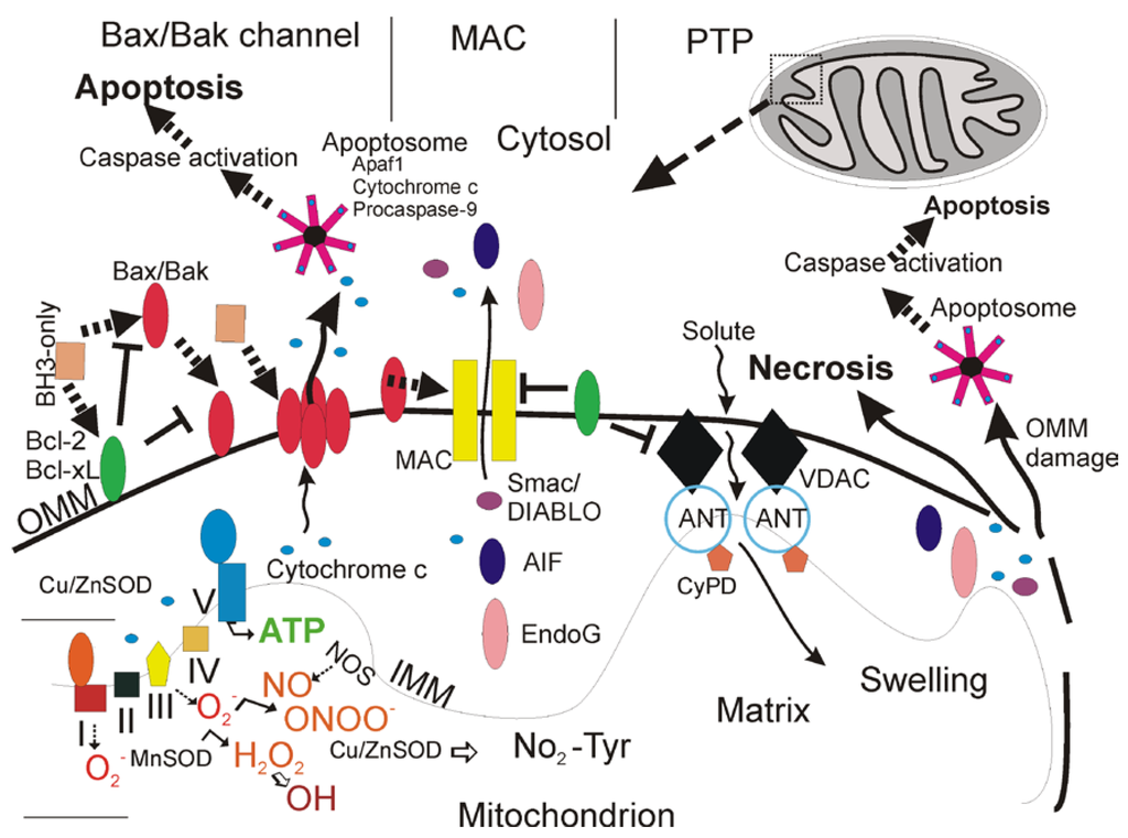 Pharmaceuticals Free Full Text Mitochondrial And Cell