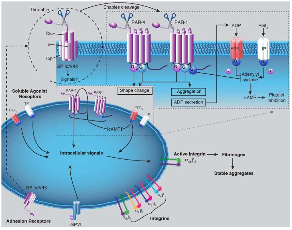 thrombin review article