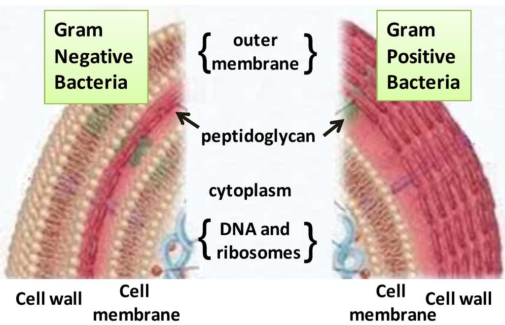 Gram Positive Cell Envelope Envelopes of Gram-positive