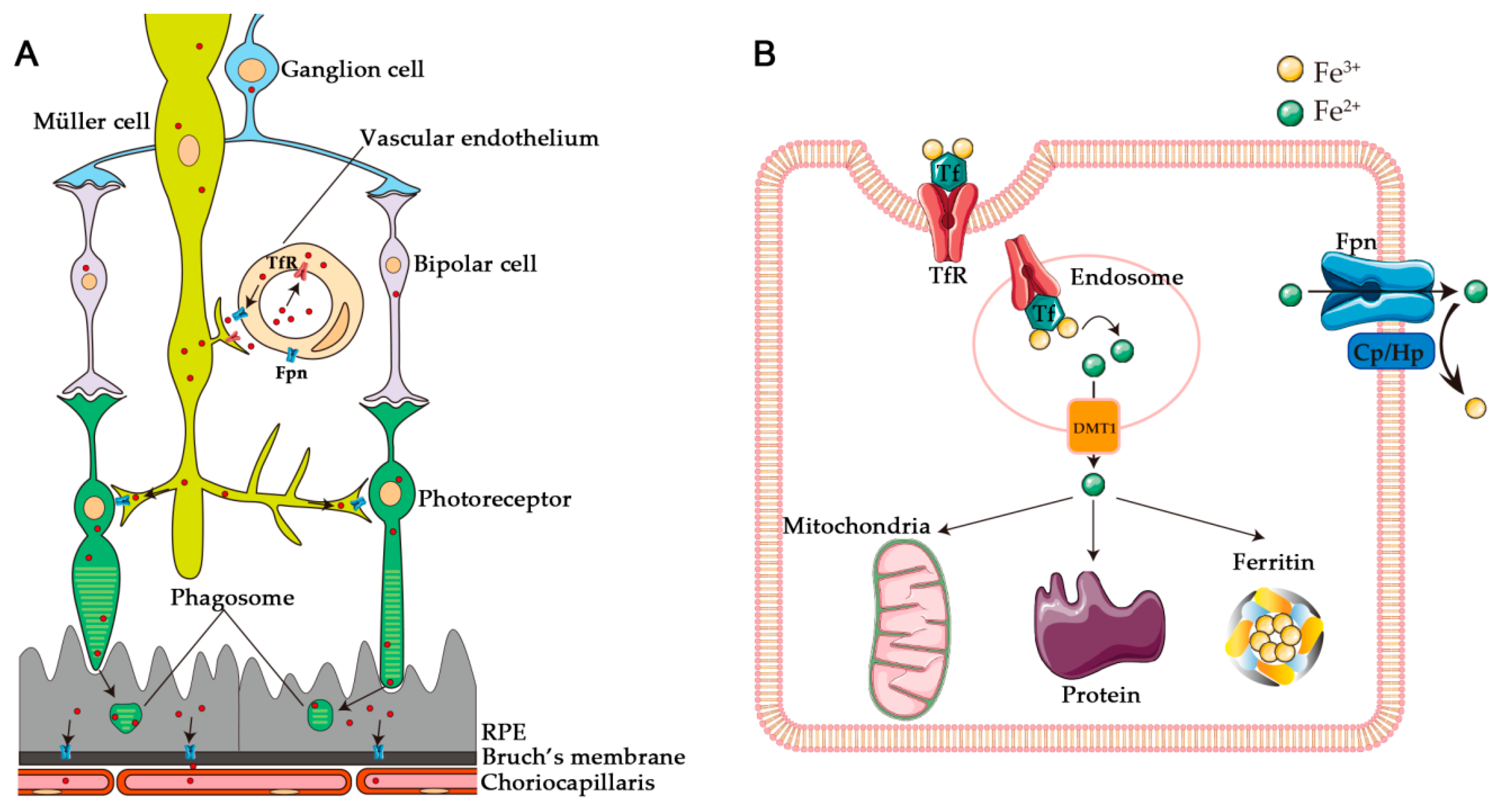 Boosting Molecular Complexity with O<sub>2<sub>: Ironâ