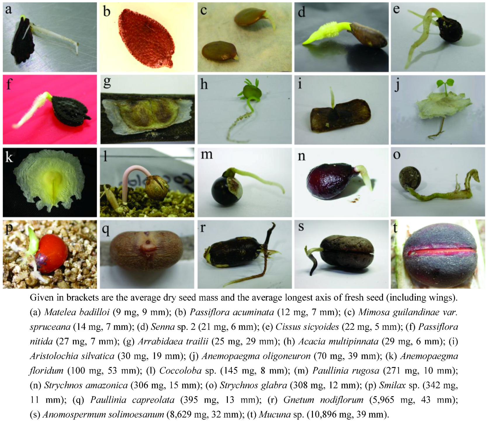 the seed morphology polyembryony and germination Polyembryony has been reported as occurring in a large nu ber of species   embryos may be produced in a single seed and three forms  morphology of  angiosperms 1903 [no  germinating seeds of the mango {mangifera indica}  one of.