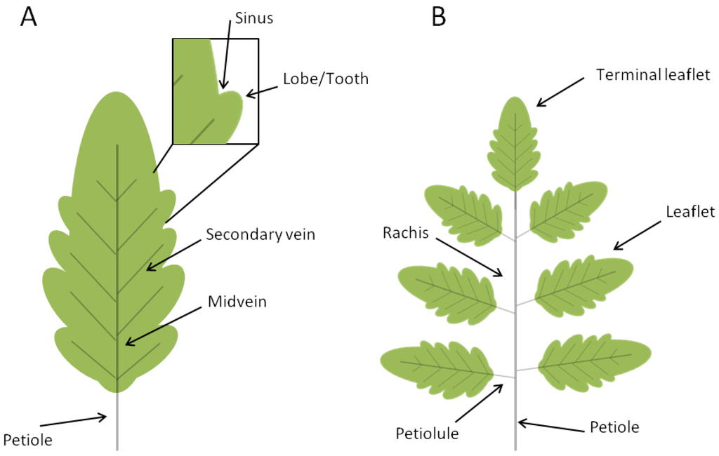Plants | Free Full-Text | TALE and Shape: How to Make a Leaf ...