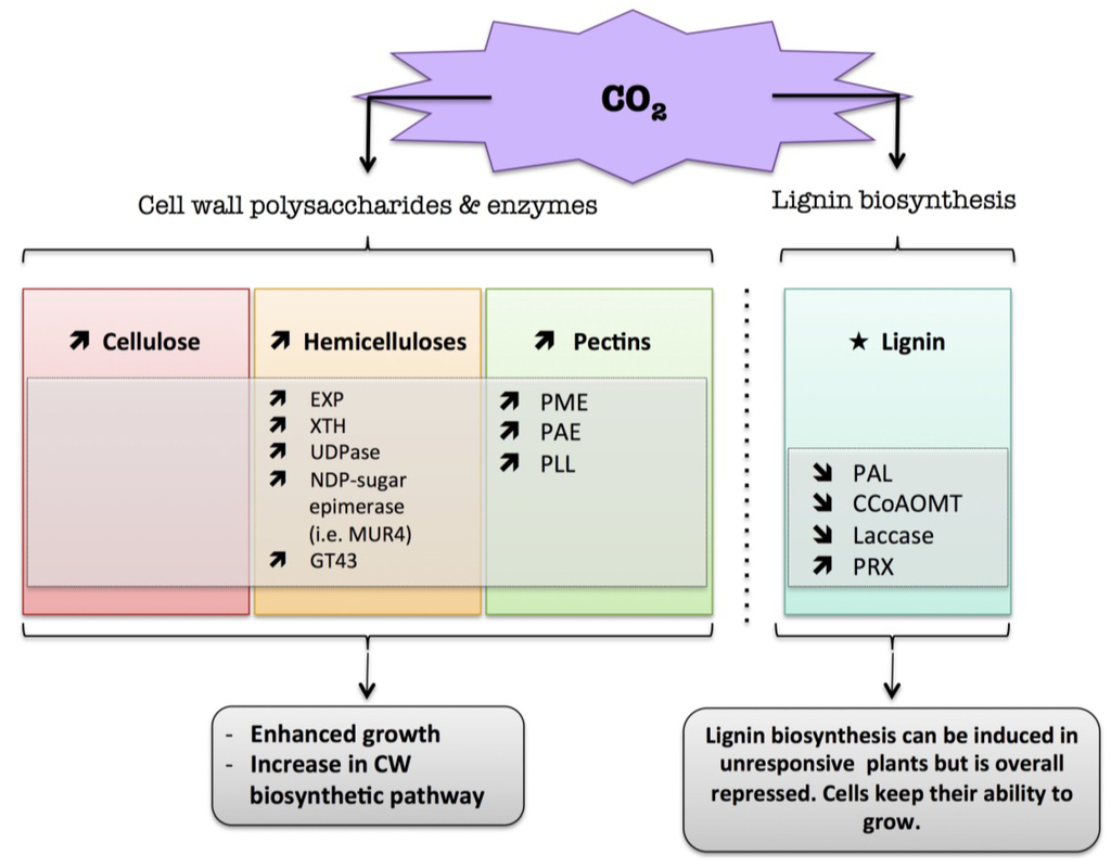 Plants Special Issue Plant Cell Walls Chemical And Metabolic Wall Schematic Open