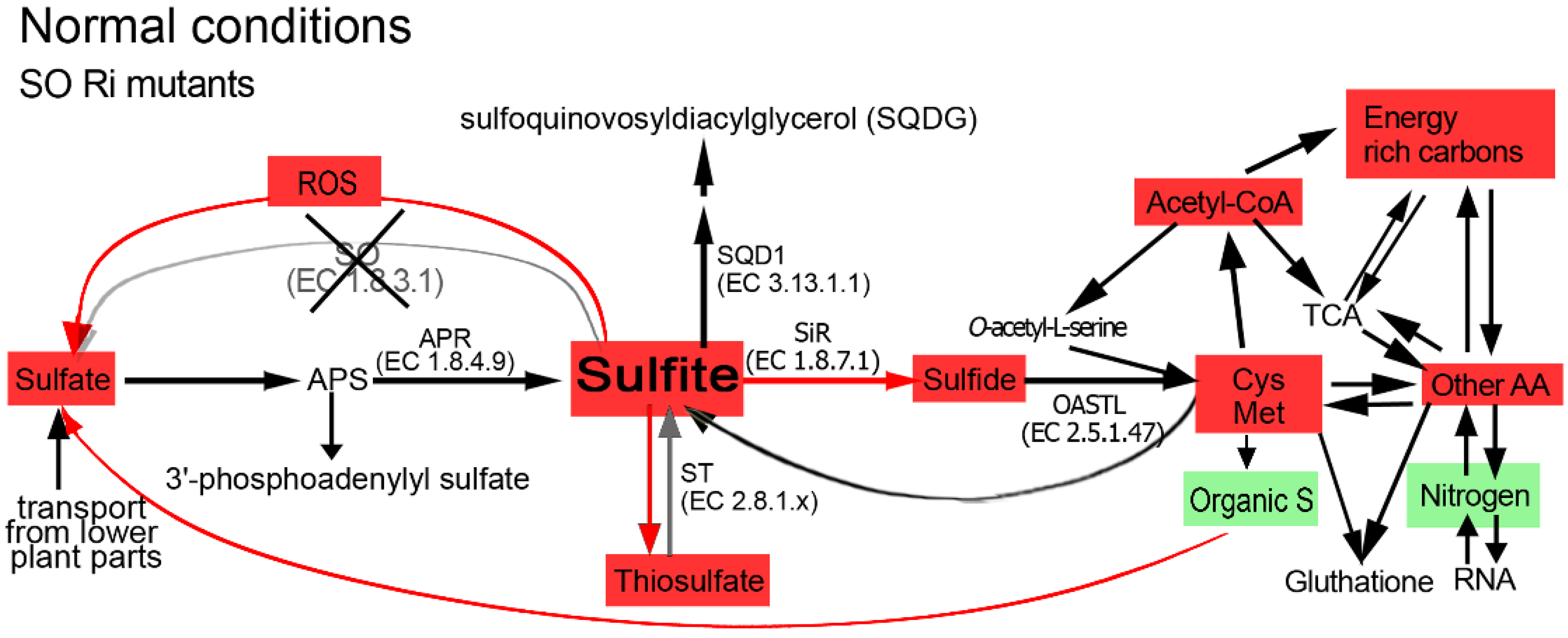 Plants free full text sulfite oxidase activity is essential no pooptronica Choice Image
