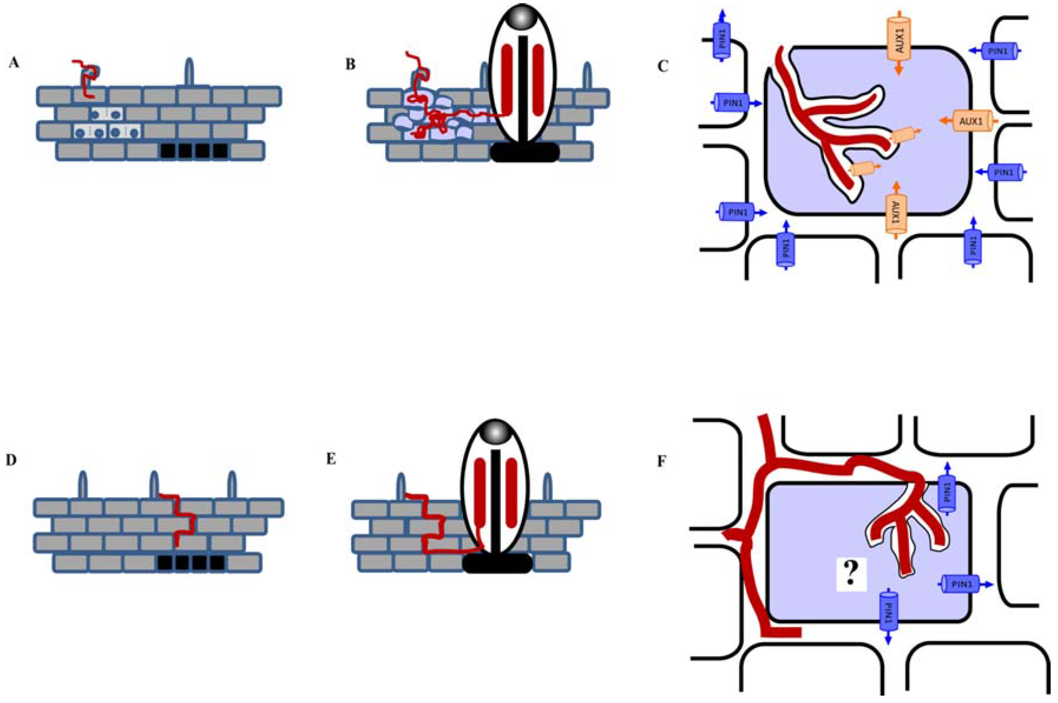 Plants | Free Full-Text | The Control of Auxin Transport in