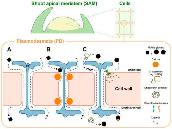 Plasmodesmata-Mediated Cell-to-Cell Communication in the Shoot Apical Meristem: How Stem Cells Talk