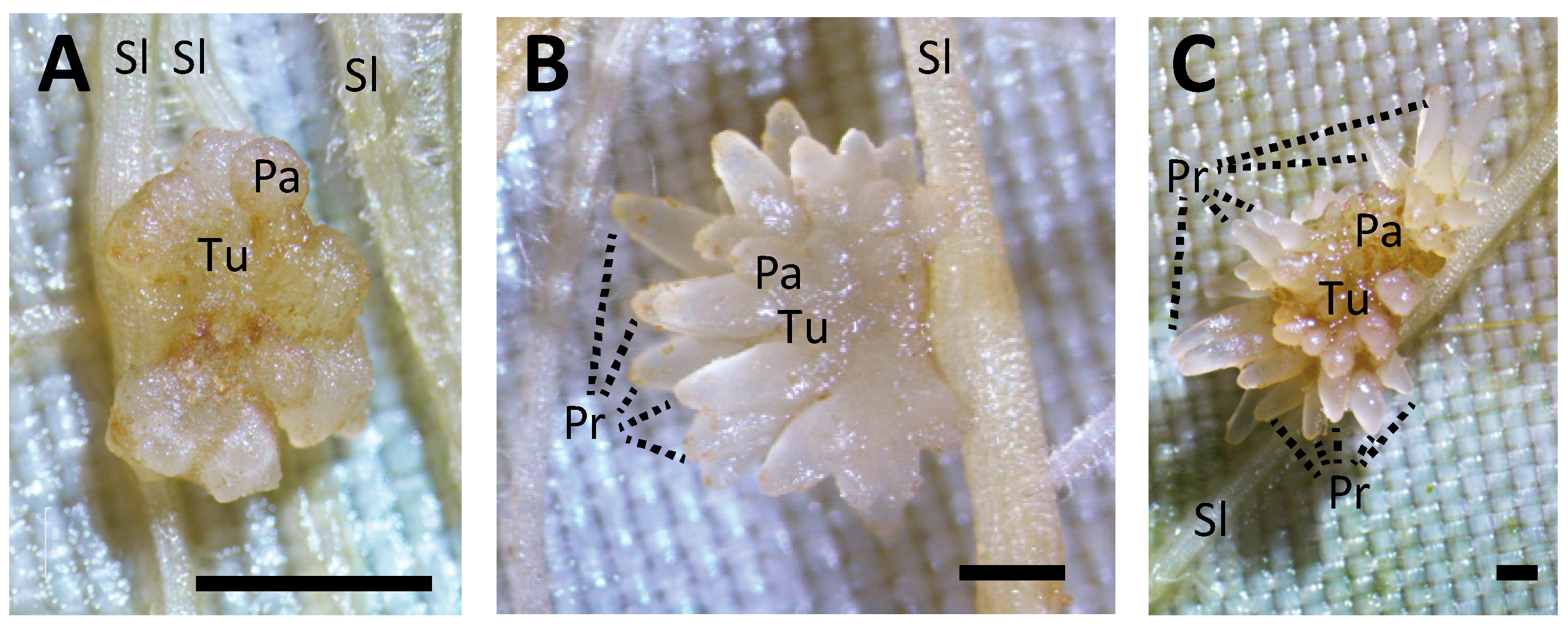 Plants | Free Full-Text | Phloem-Conducting Cells in Haustoria of ...