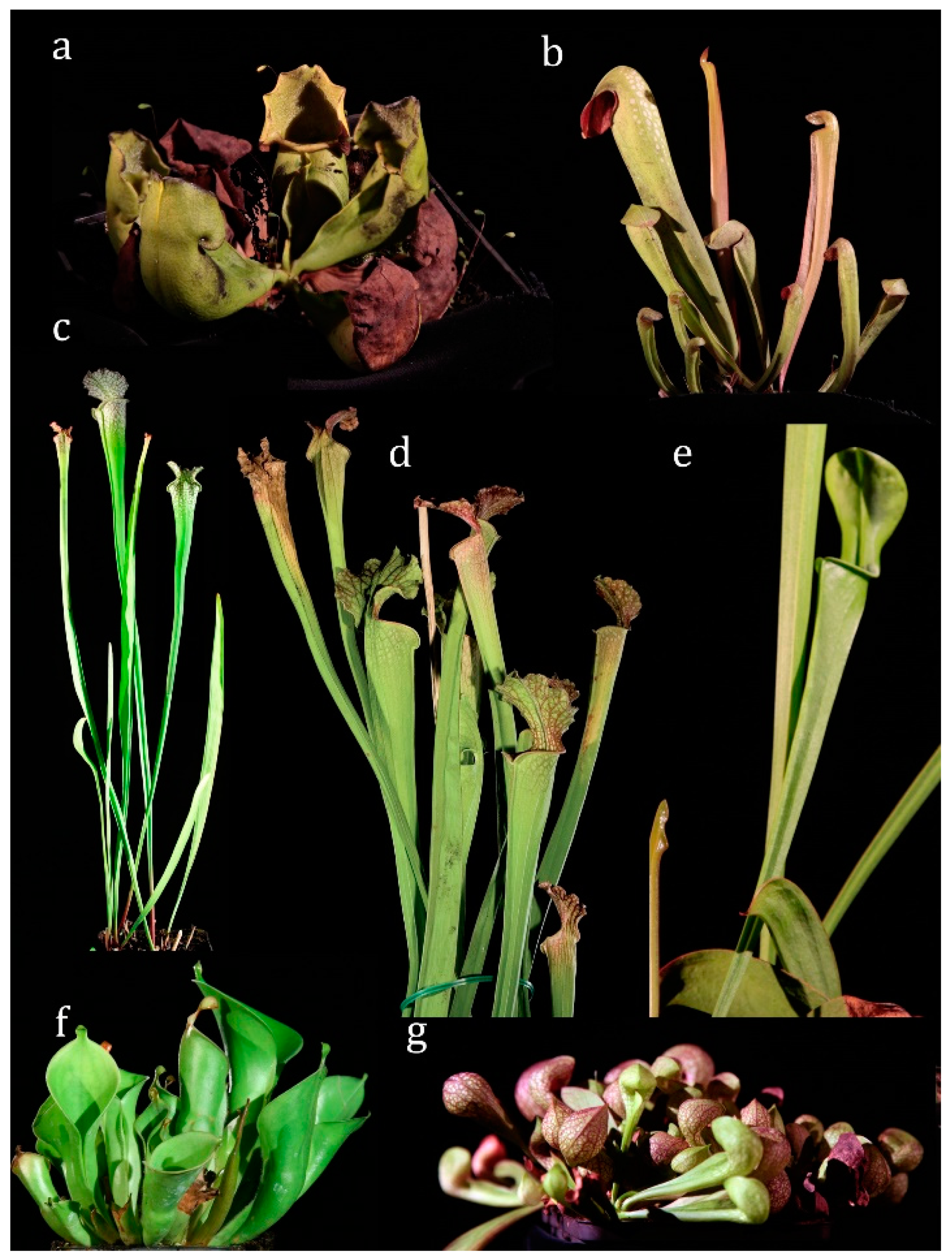 Plants Free Full Text Endocytosis And Digestion In Carnivorous Pitcher Plants Of The Family Sarraceniaceae Html