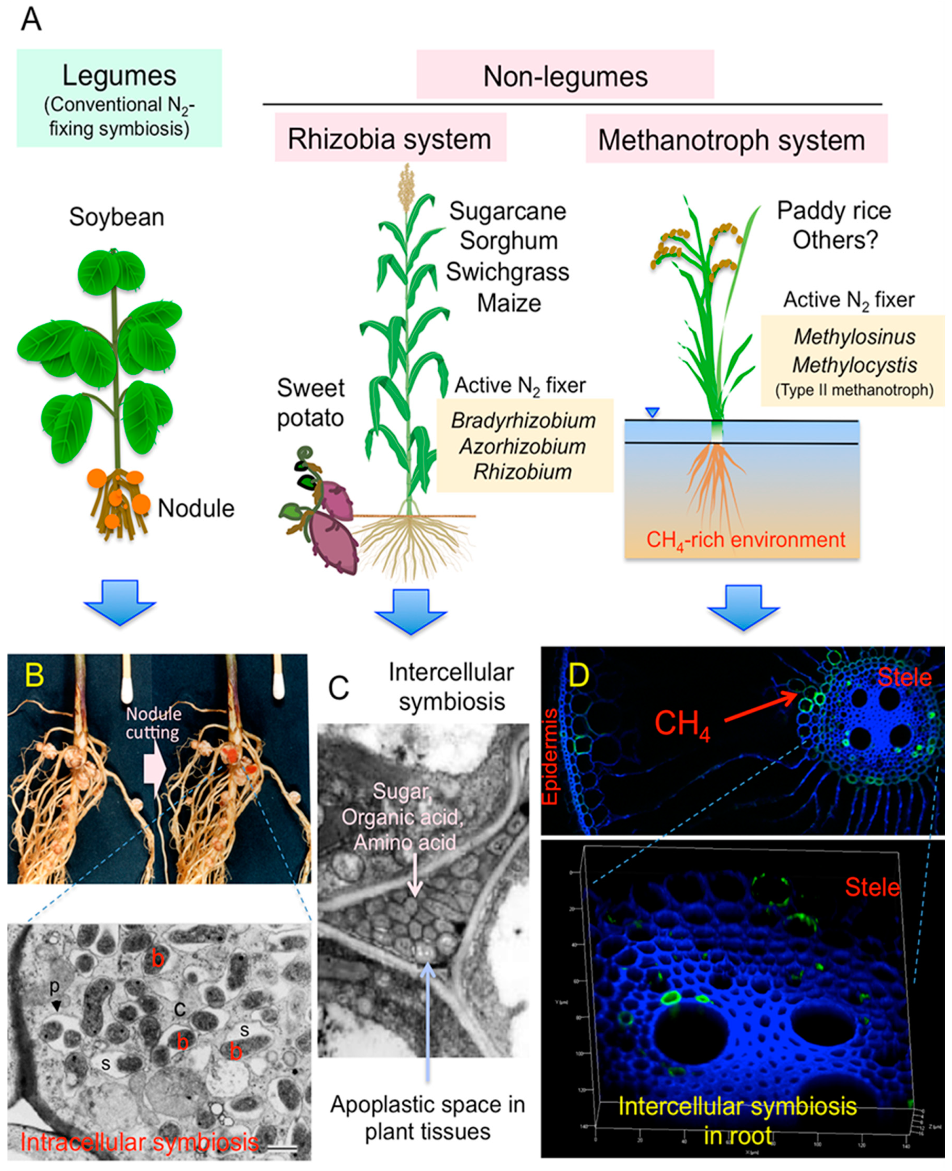 Plants | Free Full-Text | Molecular Analyses of the Distribution and Function of Diazotrophic Rhizobia and Methanotrophs in the Tissues and Rhizosphere of Non-Leguminous Plants | HTML