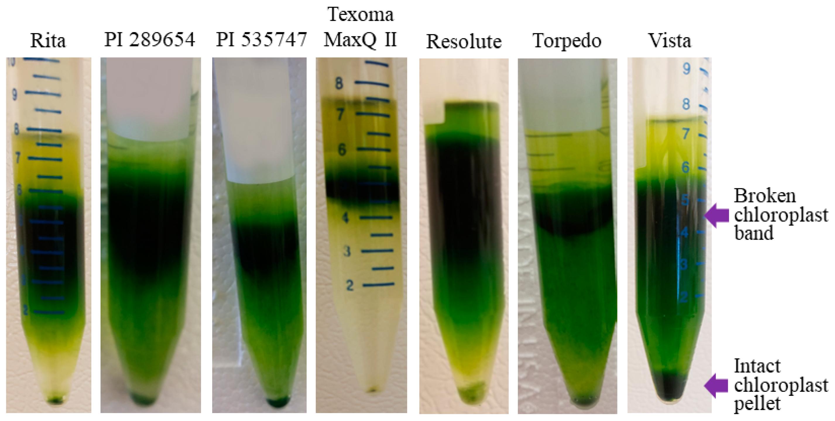 Plant De Menthe En Pot plants | free full-text | isolation of intact chloroplast