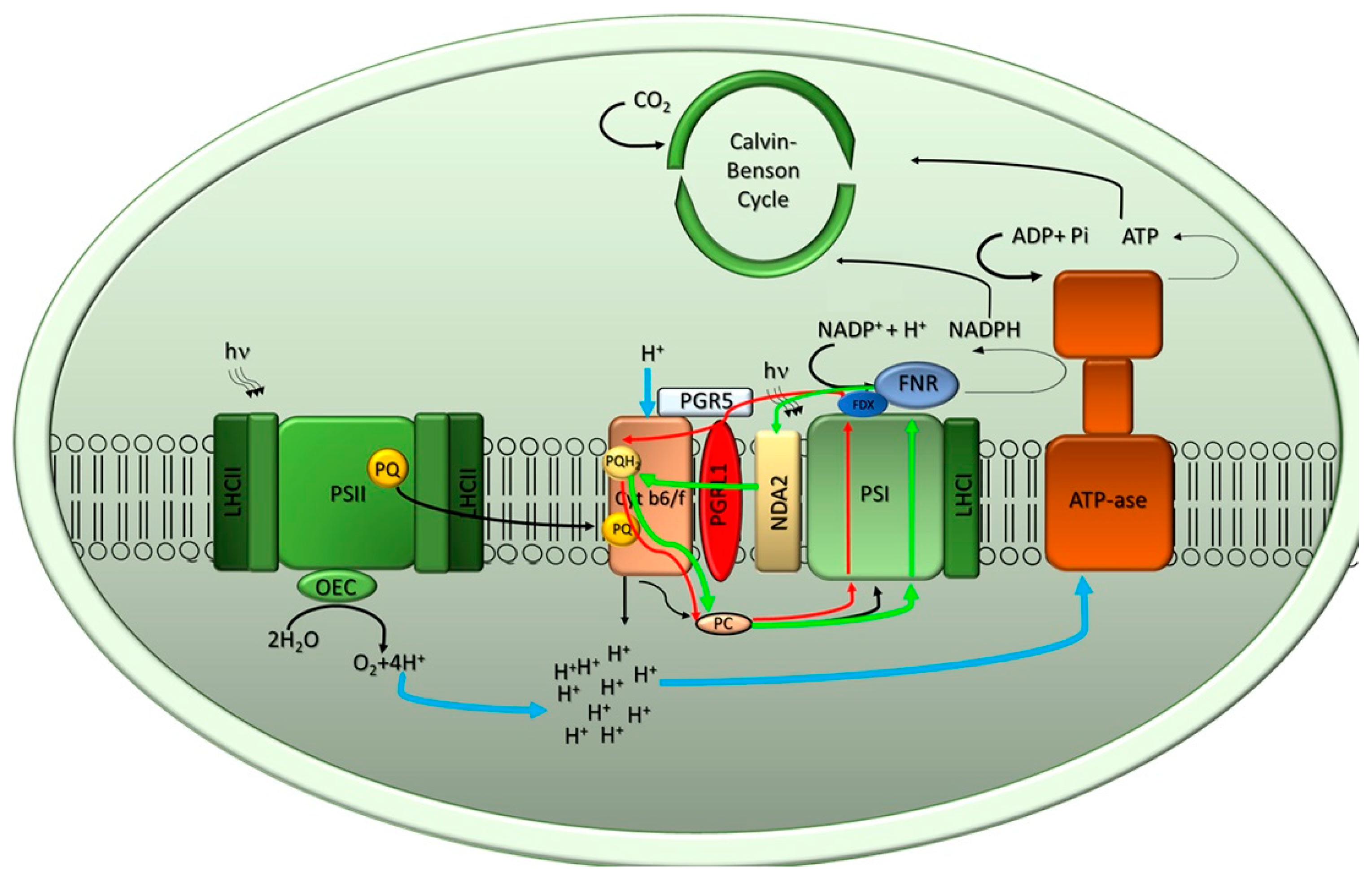 Plants Free Full Text Potential And Challenges Of Improving Photosynthesis In Algae Html