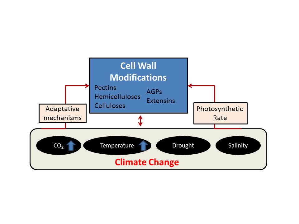 Plants Free Full Text Plant Cell Walls Tackling Climate Change Biotechnological Strategies To Improve Crop Adaptations And Photosynthesis In Response To Global Warming Html