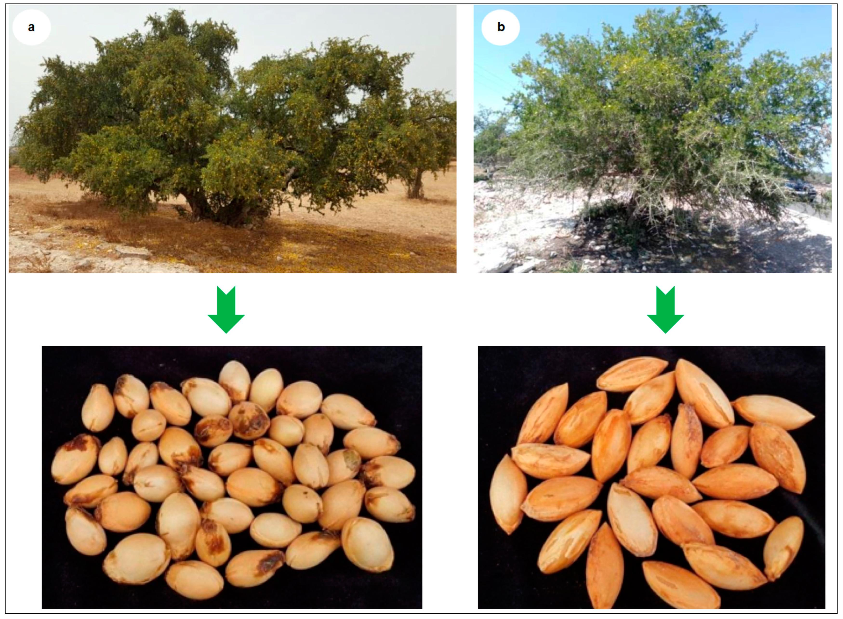 Argan Seeds Nuts Tree Argania Spinosa Variat Moroccan Bio New Harvest Very Rare