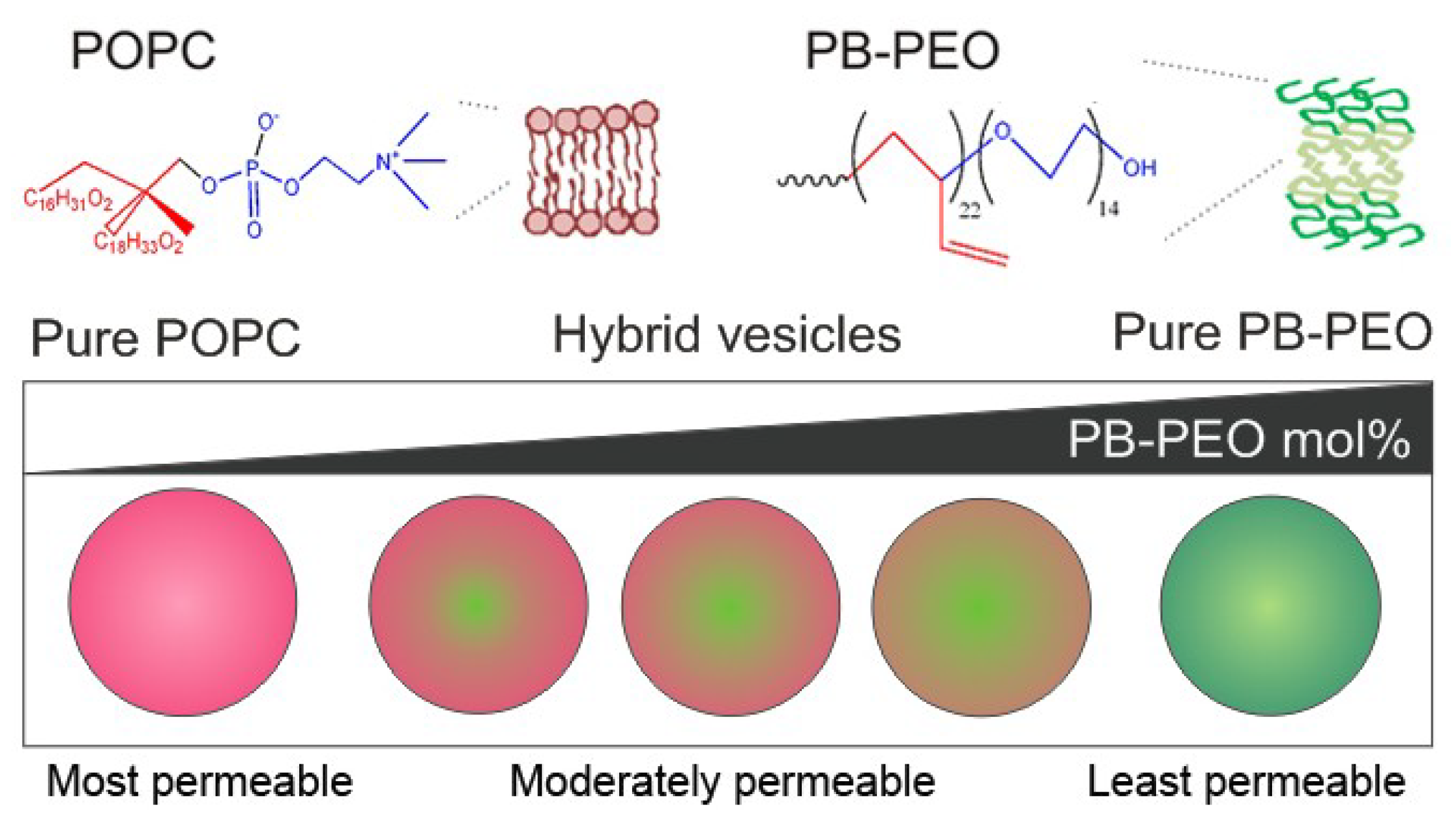 polymeric vesicles The robustness of polymeric vesicles presents the opportunity for membrane  modification so that more sophisticated behaviors can be engineered we  envision.