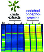 PAPE Prefractionation-Assisted Phosphoprotein Enrichment: A Novel Approach for Phosphoproteomic Analysis of Green Tissues from Plants