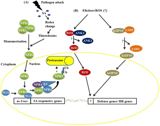 Transcription Factor Functional Protein-Protein Interactions in Plant Defense Responses
