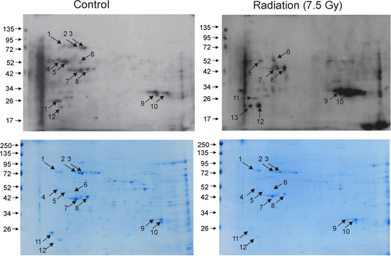 Bone Marrow Protein Oxidation in Response to Ionizing Radiation in C57BL-6J Mice