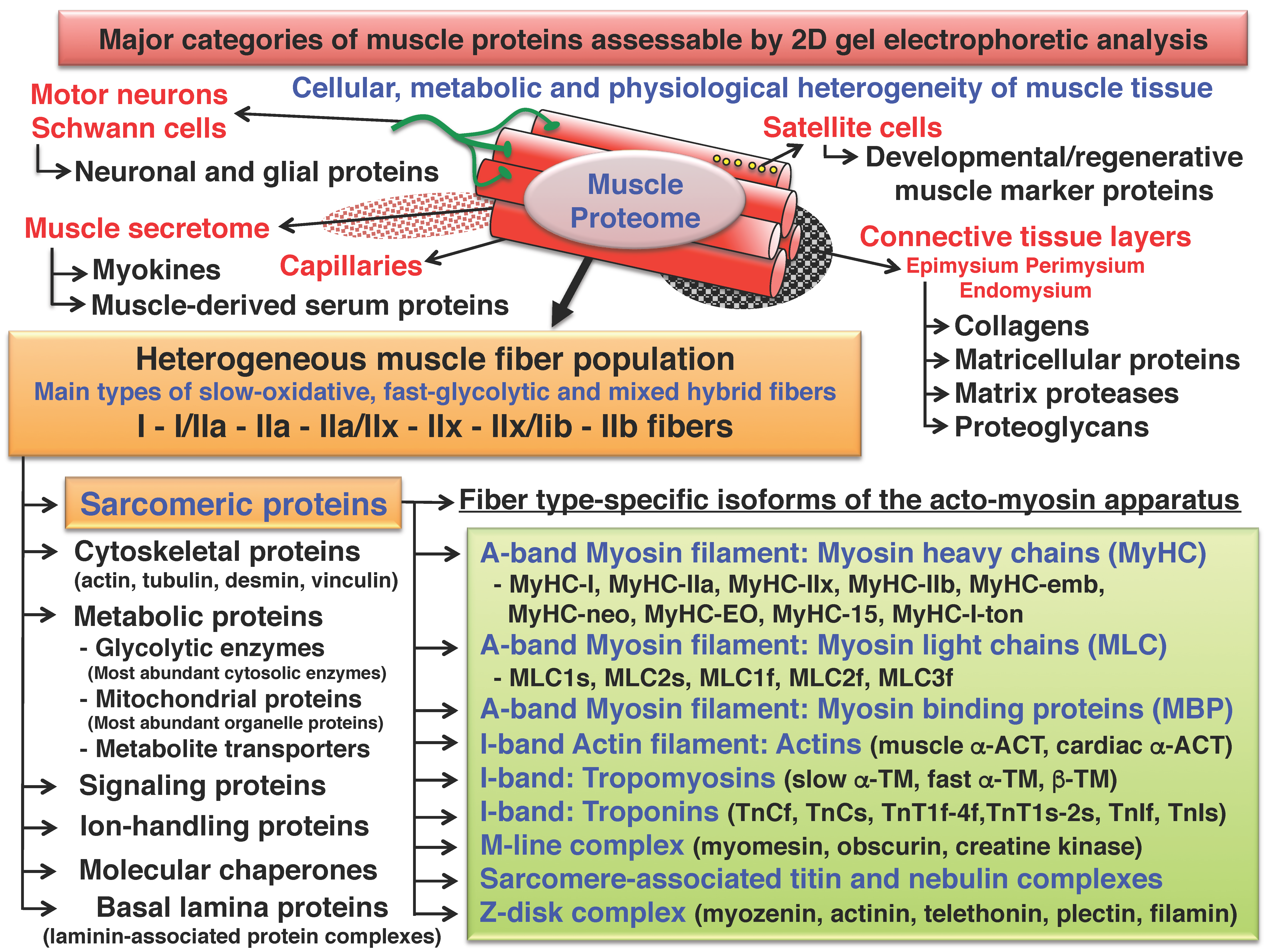 Proteomes Free Full Text Comparative Skeletal Muscle Proteomics
