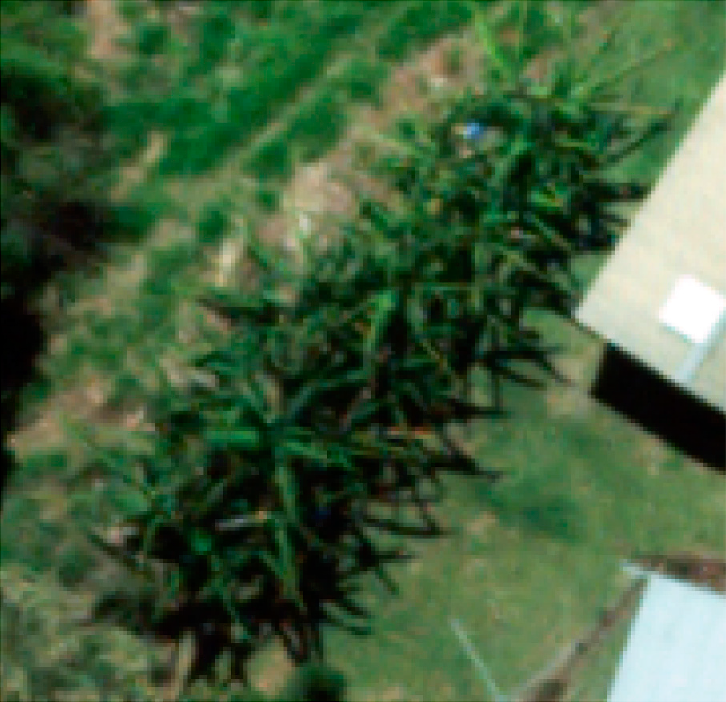 Remote Sensing   Free Full-Text   Mapping Banana Plants from