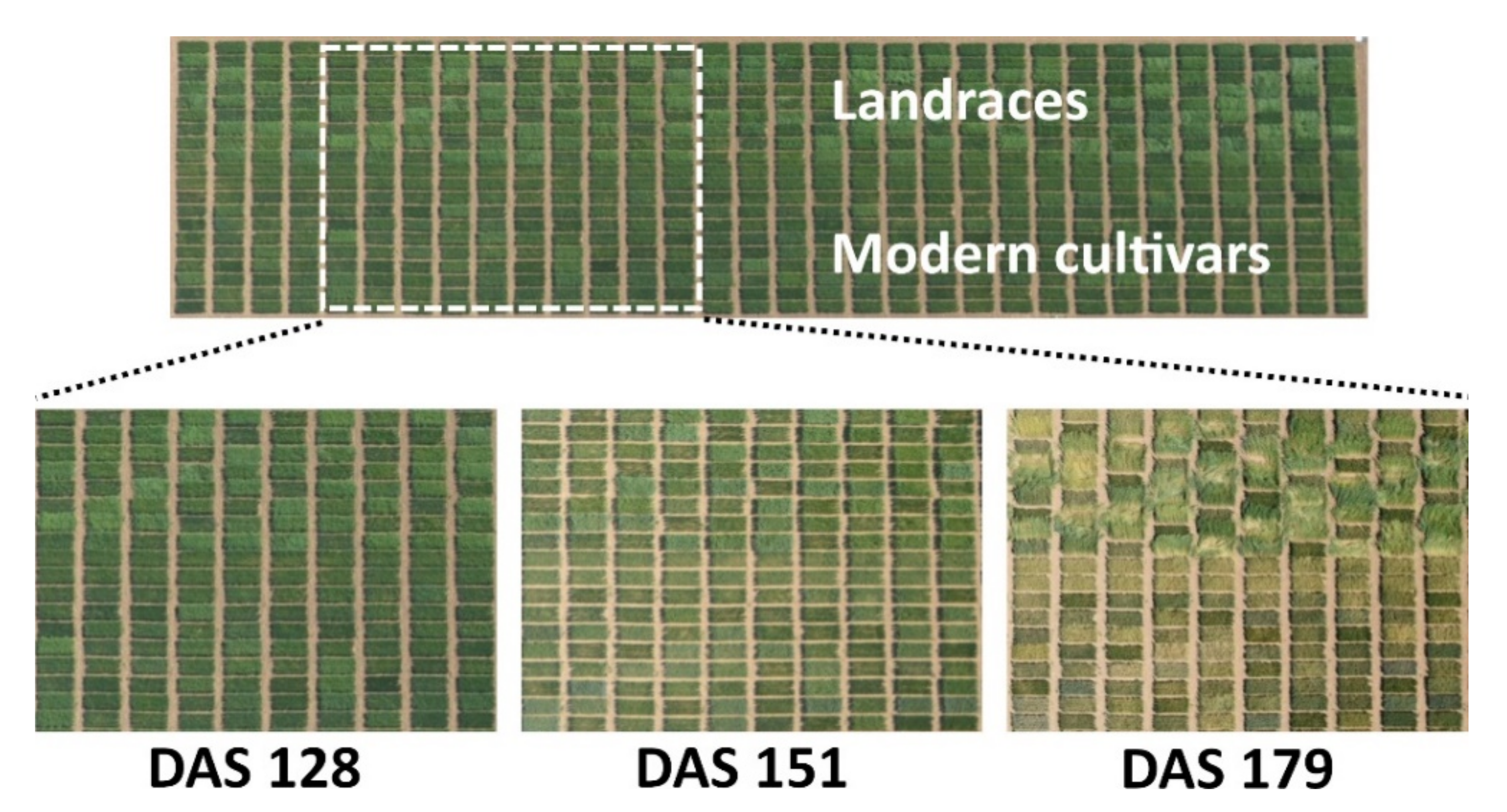 Remote Sensing Free Full Text Using Unmanned Aerial Vehicle And Ground Based Rgb Indices To Assess Agronomic Performance Of Wheat Landraces And Cultivars In A Mediterranean Type Environment Html