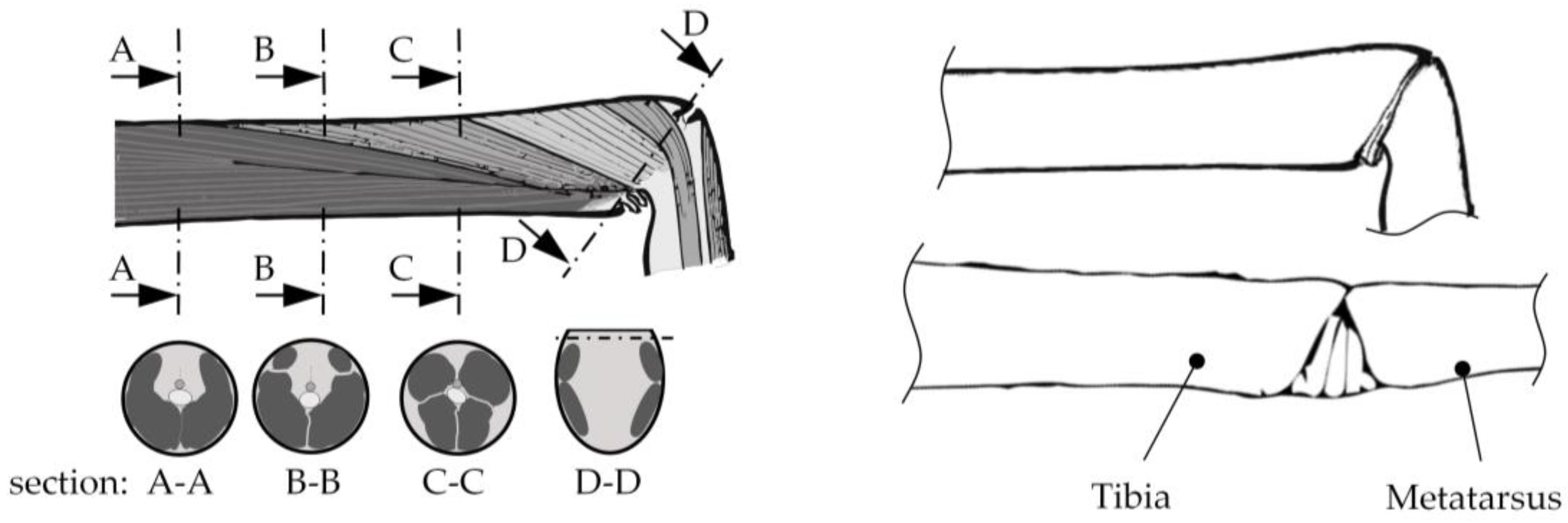 Robotics Free Full Text Biomimetic Spider Leg Joints A