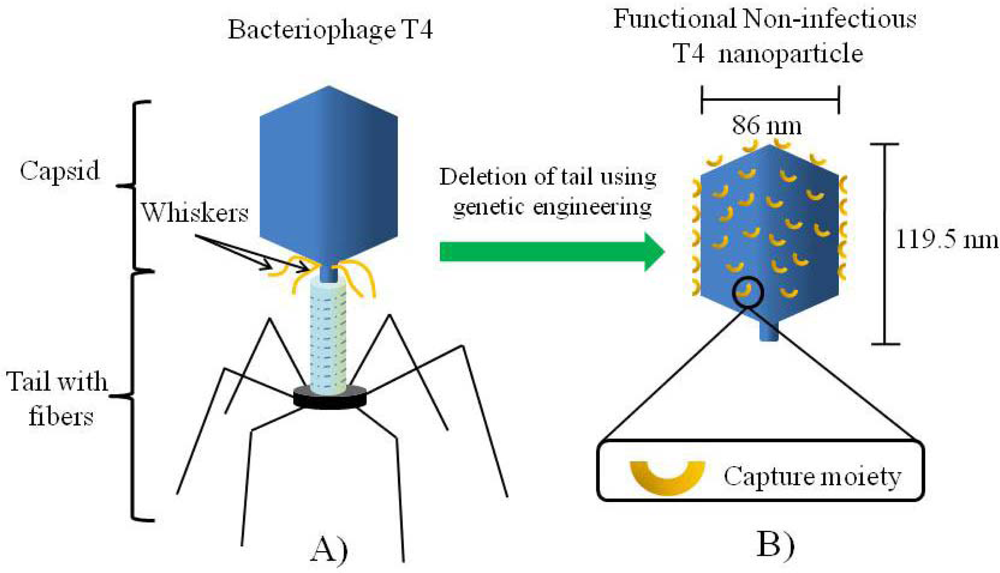 Sensors Free Full Text Bacteriophage T4 Nanoparticles As