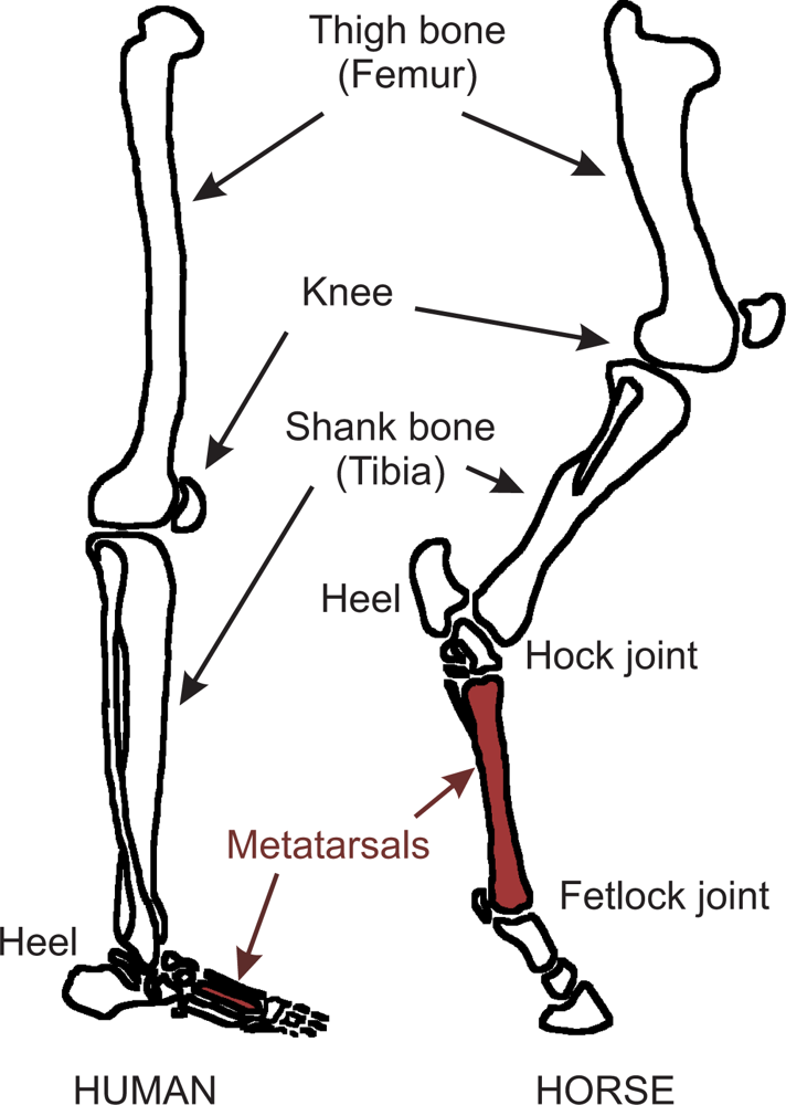 Comparison Diagram Of Horse Legs - Circuit Connection Diagram •