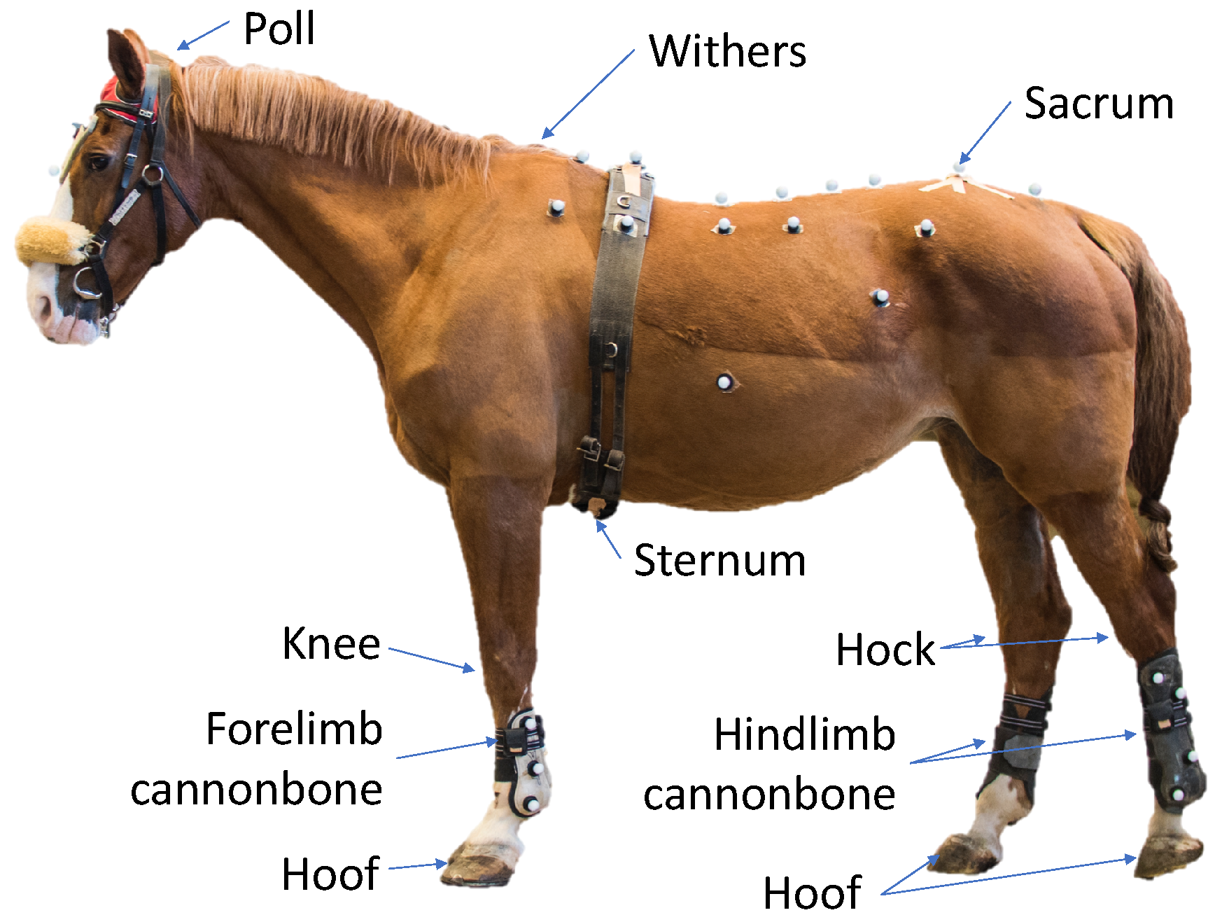 Sensors Free Full Text Equimoves A Wireless Networked Inertial Measurement System For Objective Examination Of Horse Gait Html
