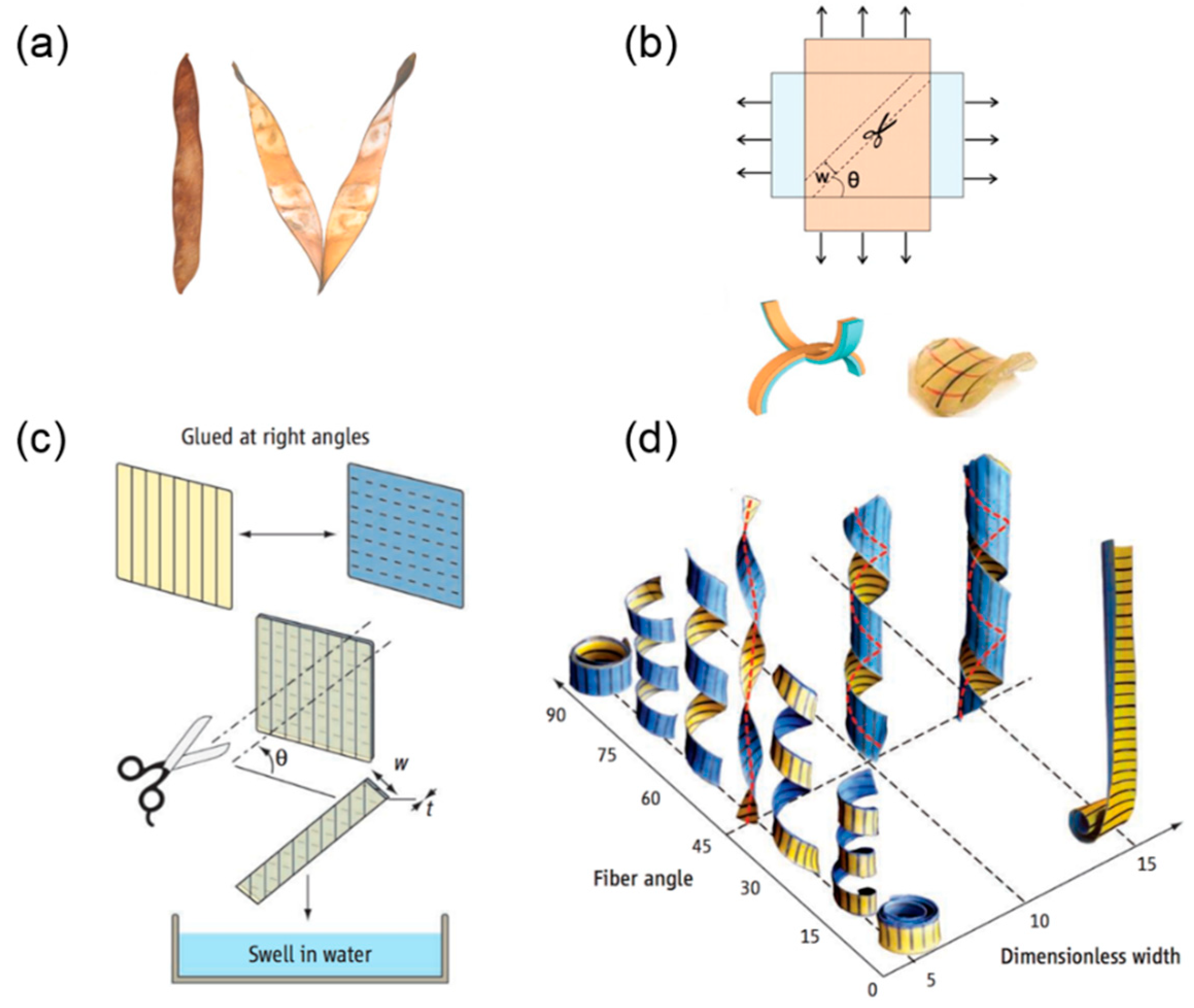 Sensors Free Full Text Helical Structures Mimicking Chiral Seedpod Opening And Tendril Coiling Html