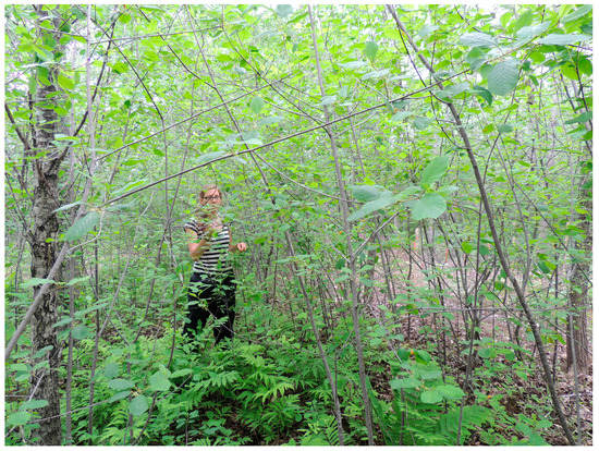 Exotic Invasive Shrub Glossy Buckthorn Reduces Restoration Potential for Native Forest Herbs