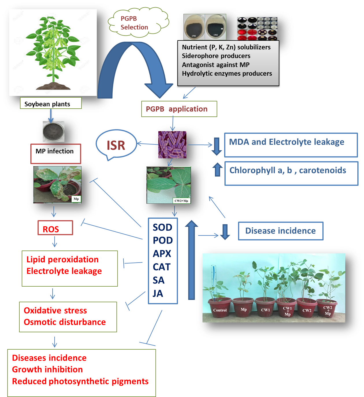 Sustainability Free Full Text Identification Of New Biocontrol Agent Against Charcoal Rot Disease Caused By Macrophomina Phaseolina In Soybean Glycine Max L Html