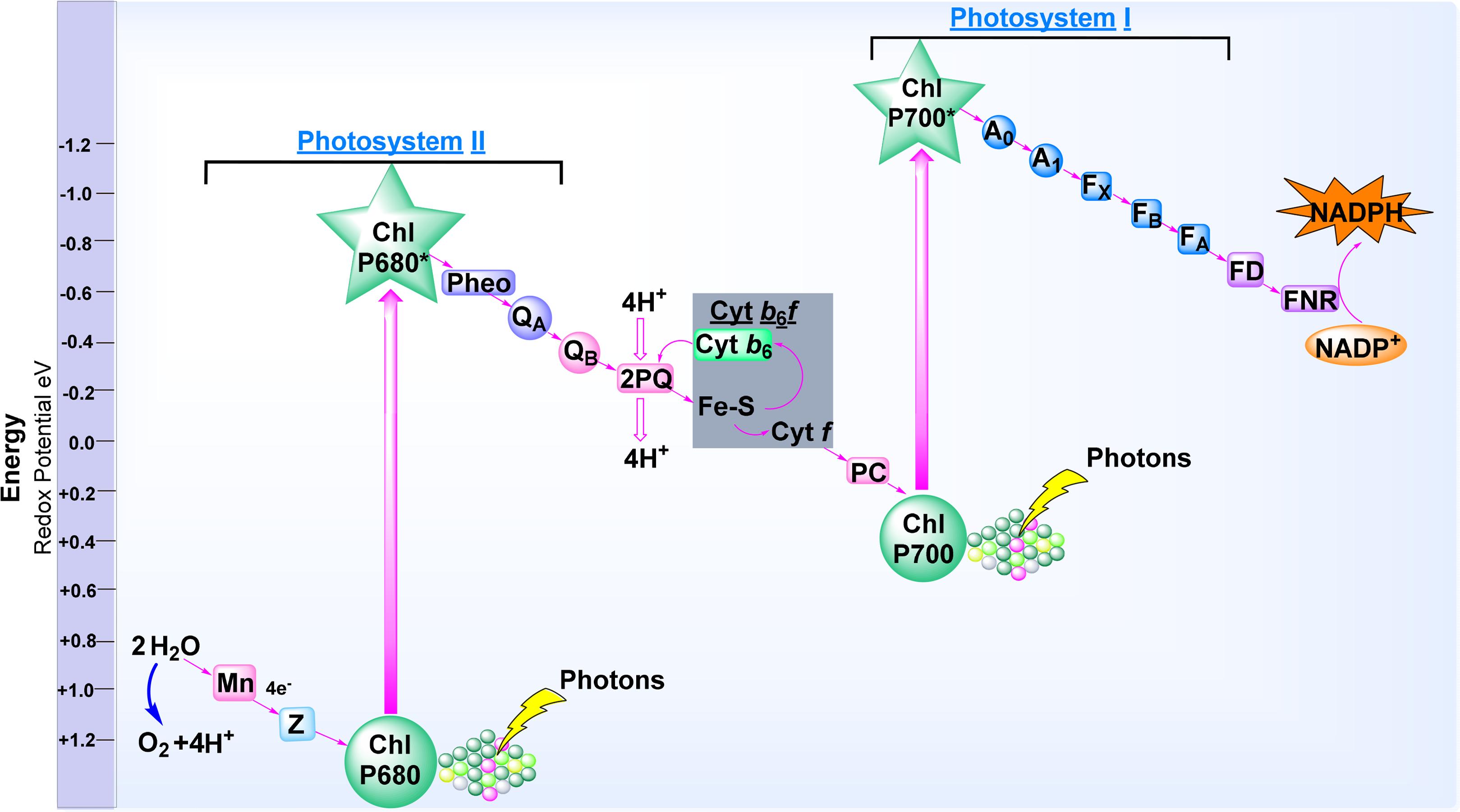 Oxygenic photosynthesis