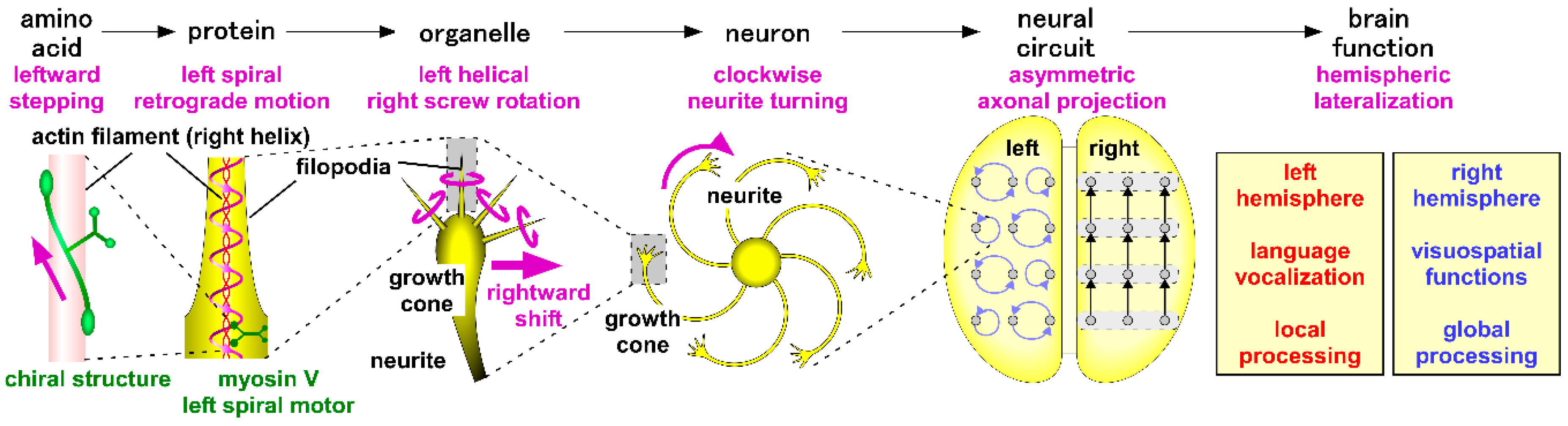 Symmetry | Free Full-Text | Chiral Neuronal Motility: The
