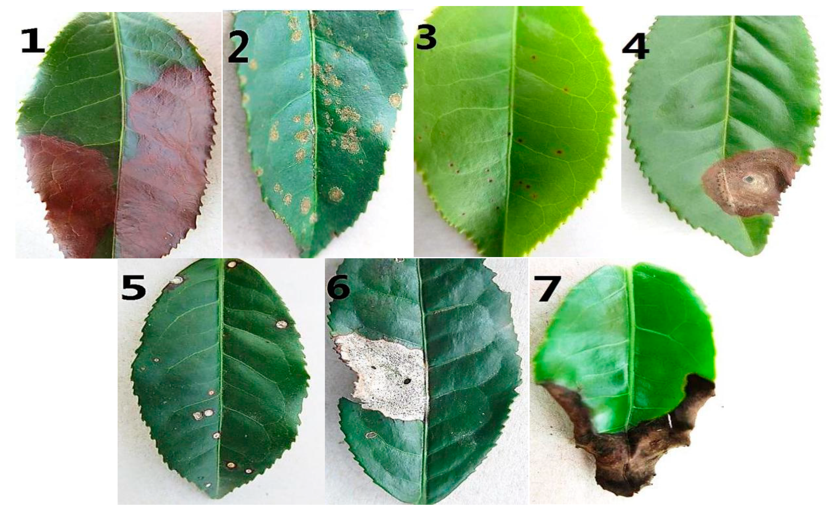 Symmetry | Free Full-Text | Visual Tea Leaf Disease Recognition