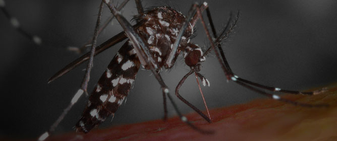 A History of Mosquito Gene Drive