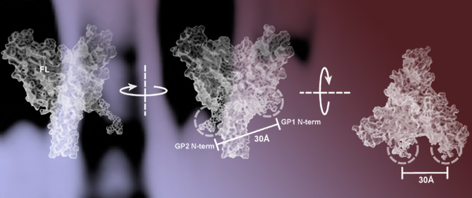 Real-Time Analysis of Individual Ebola Virus Glycoproteins Reveals Pre-Fusion, Entry-Relevant Conformational Dynamics