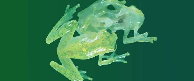 Glassfrogs of Ecuador: Diversity, Evolution, and Conservation