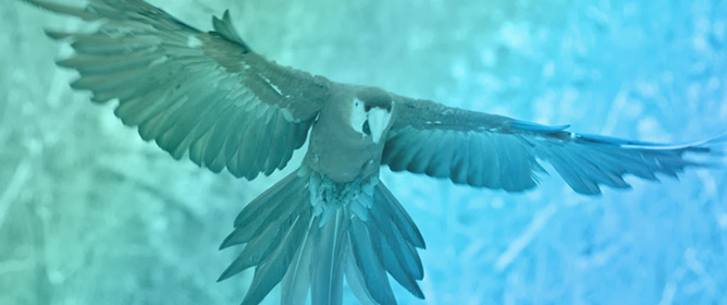 Parrot Free-Flight as a Conservation Tool