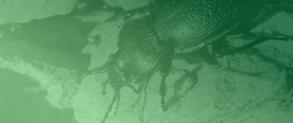 Personality Differences in a Carabid Beetle