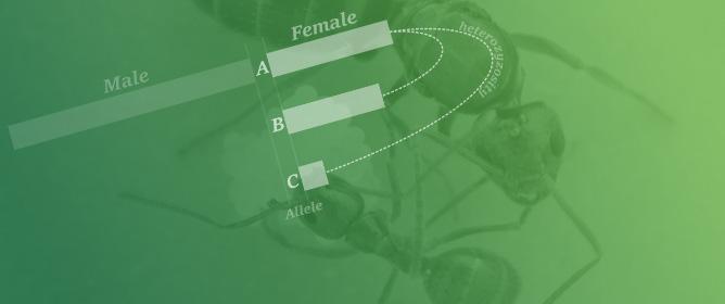 Investigating Sexually Antagonistic Selection in the Invasive Ant <em>Nylanderia fulva</em>