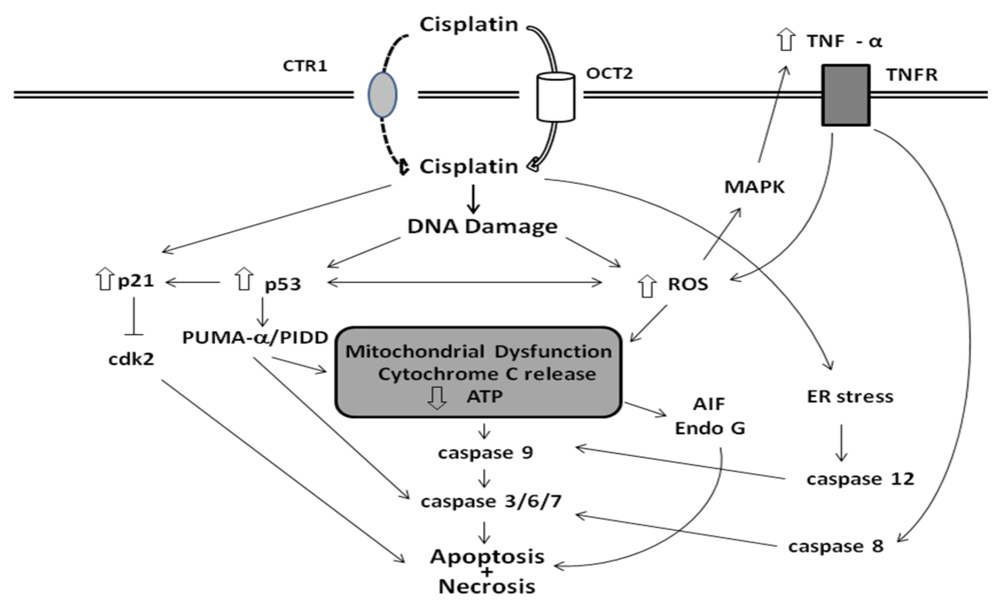 Toxins | Free Full-Text | Mechanisms of Cisplatin