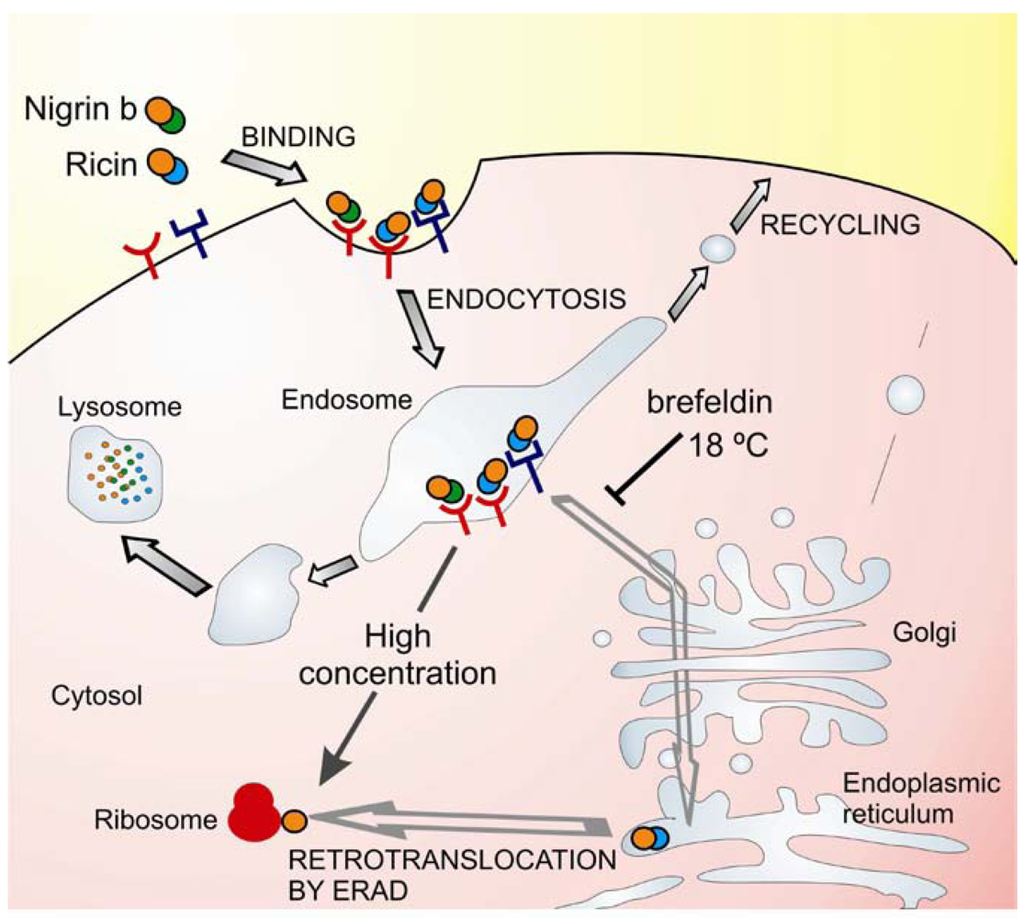 Use Of Ribosome-Inactivating