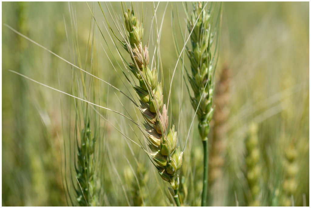 Growth Stages of Wheat