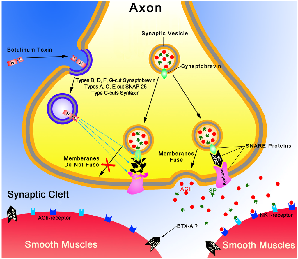 how does botox work at the neuromuscular junction