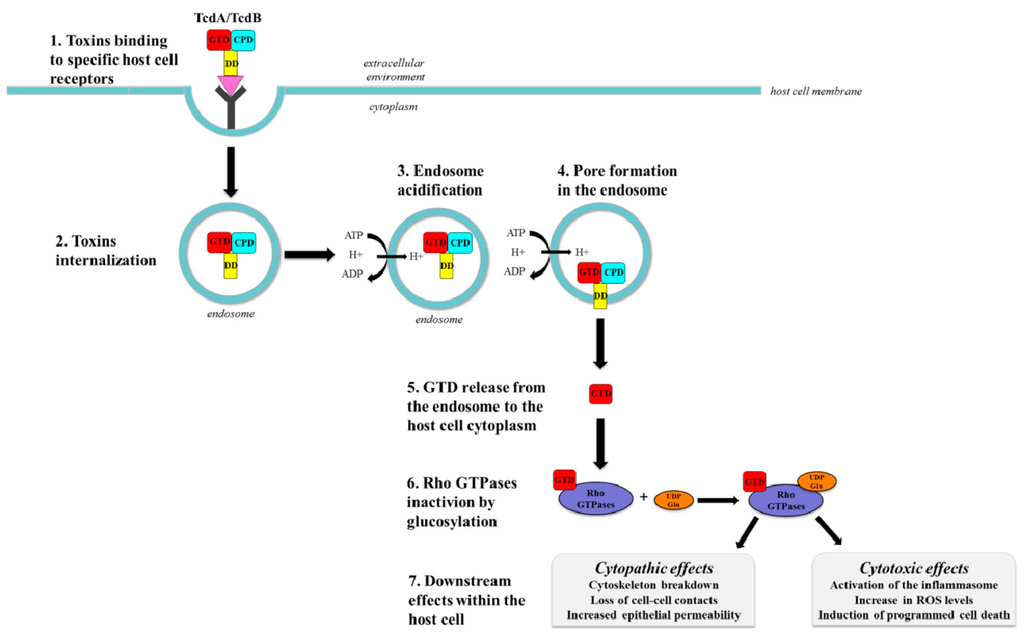 clostridium difficile toxin essay The test is performed on the verigene system and utilizes automated specimen preparation and polymerase chain reaction (pcr) amplification, combined with a nanoparticle-based array hybridization assay to detect the toxin gene sequences associated with toxin-producing c difficile.