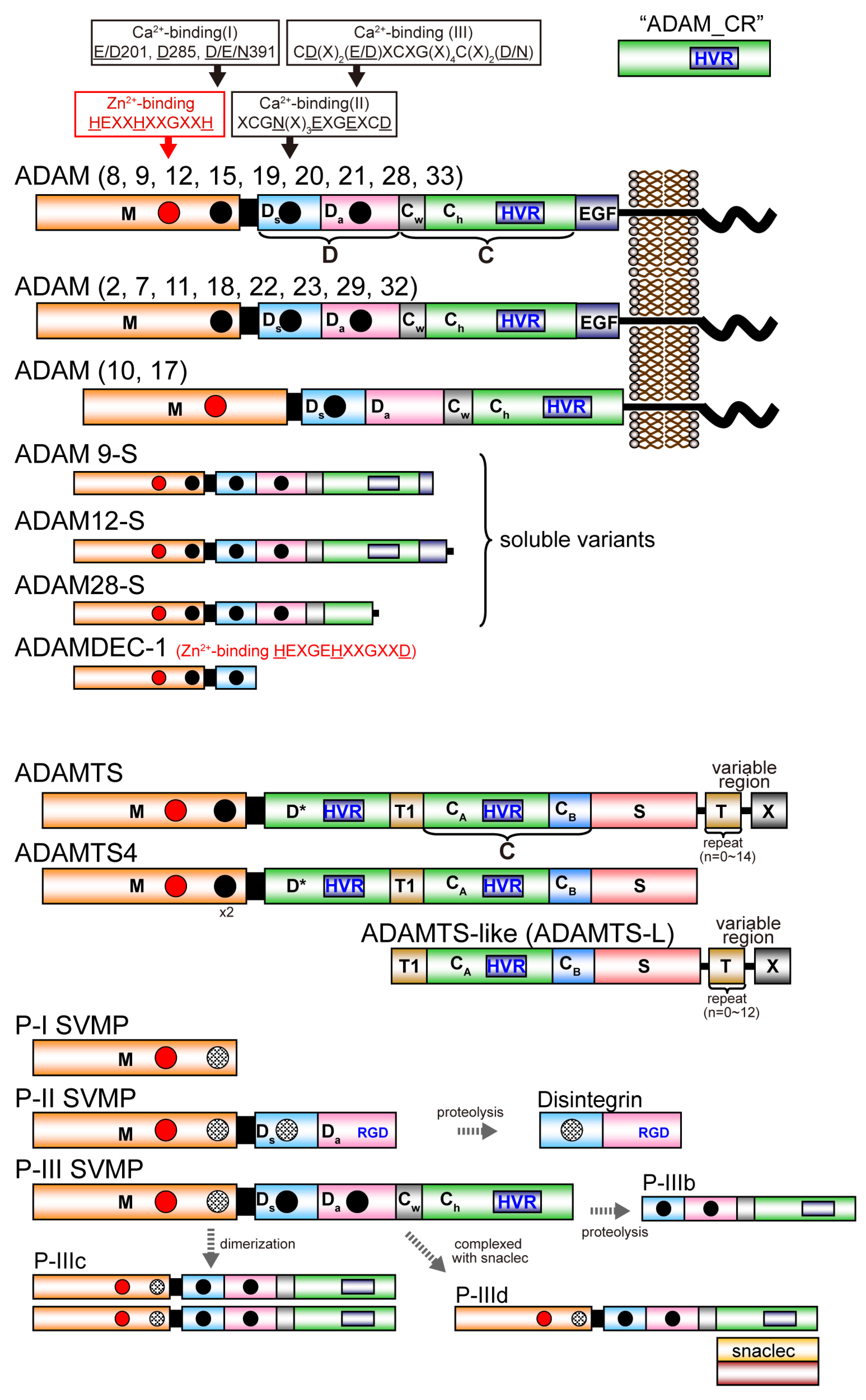 Toxins | Free Full-Text | ADAM and ADAMTS Family Proteins