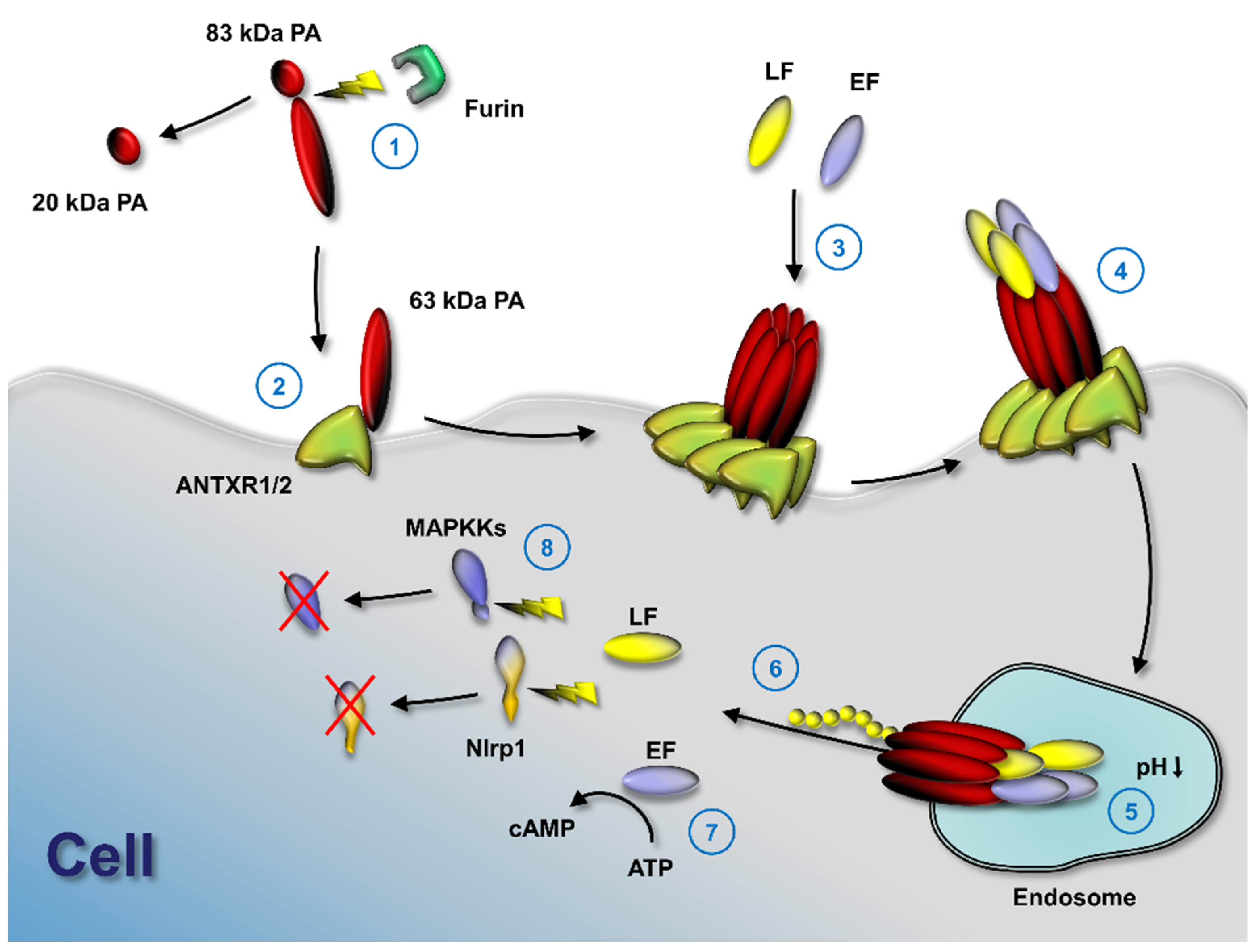a summary of an article about anthrax toxins Structure summary: anthrax toxin lf subunit  anthrax toxin is a three-protein exotoxin secreted by virulent  diagram of the actions of the secreted anthrax toxins.