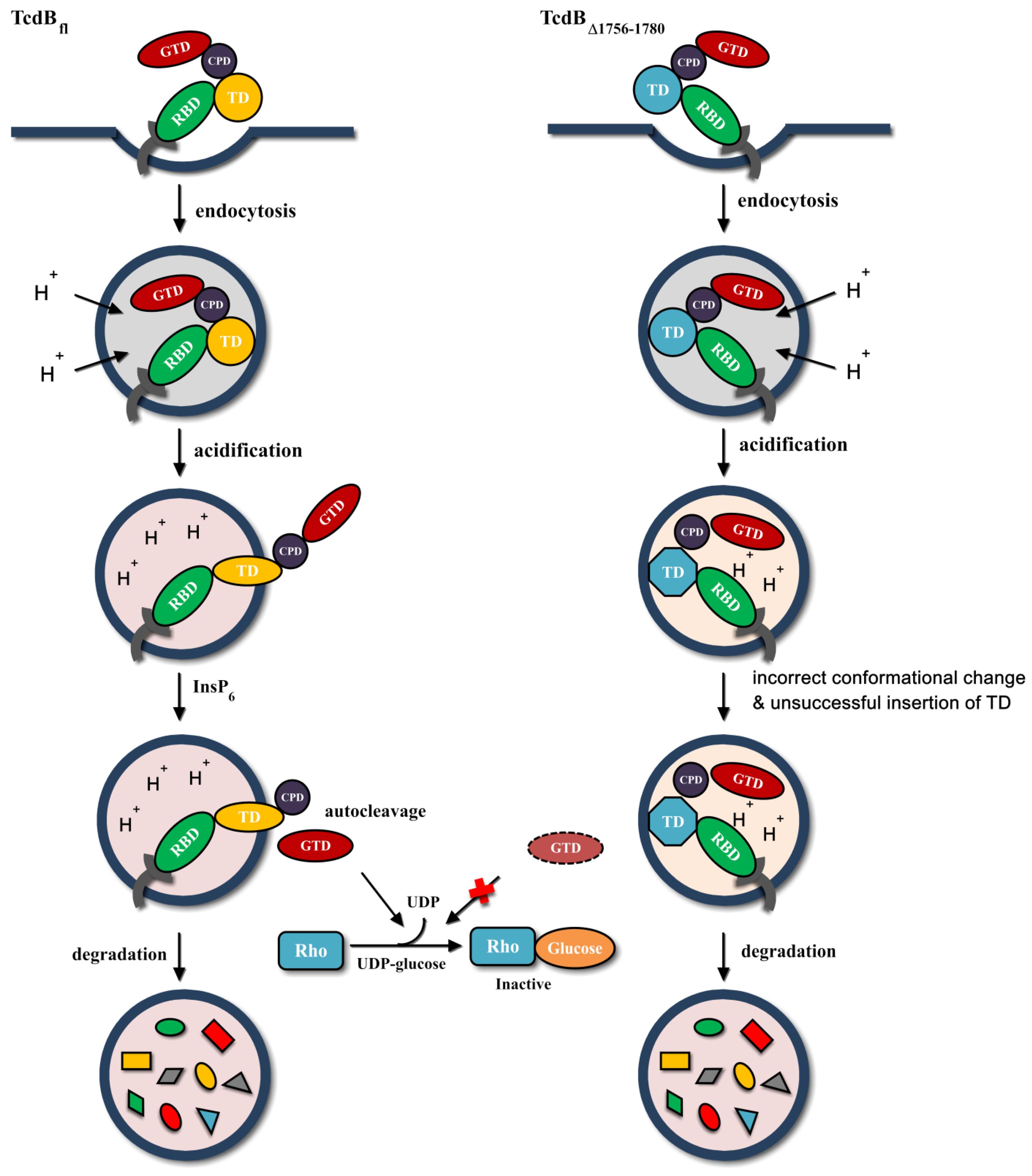 HIV-1 gp120 V3 cholera toxin B subunit fusion gene expression in transgenic potato.
